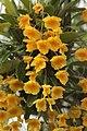 Lindley's dendrobium - Dendrobium lindleyi (33724872931).jpg