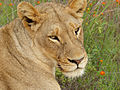 Lioness (Panthera leo) (12025916214).jpg