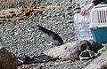 Little Blue Penguin (Eudyptula minor) released on a beach, heading for the sea.jpg