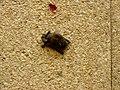 Little bat in Germany.jpg