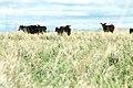 Livestock65.tif (38159537824).jpg