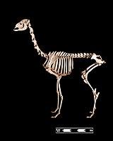 Llama skeleton at MAV-USP.jpg