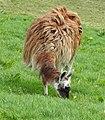 Llamas (32965608663).jpg