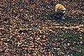 Lola the American Cocker Spaniel (8309660932).jpg