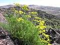 Lomatium grayi plant-3-15-05.jpg
