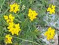 Lotus corniculatus bgiu.jpg