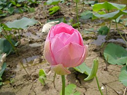 Lotus from Pakistan.JPG
