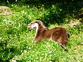 Loutre Argelès-Gazost parc animalier (8).JPG