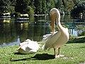 Luisenpark Pelikan.jpg