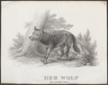 Lupus orientalis - 1700-1880 - Print - Iconographia Zoologica - Special Collections University of Amsterdam - UBA01 IZ22200349.tif