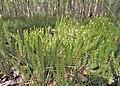 Lycopodium annotinum kz02.jpg