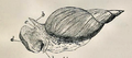 Lymnaea stagnalis 001.png