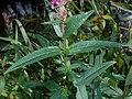 Lythrum salicaria 2017-09-16 3858.jpg