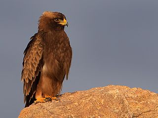Booted eagle One of the closest living relatives of the Haasts eagle, along with the little eagle