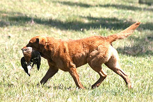A Chesapeake Bay Retriever retrieving a Mallard.