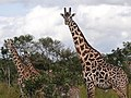 Maasai Giraffes - Mikumi National Park - Tanzania - 05 (8892272617).jpg