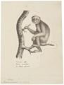 Macacus ecaudatus - 1809-1845 - Print - Iconographia Zoologica - Special Collections University of Amsterdam - UBA01 IZ20000055.tif