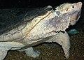 Macrochelys temminckii (alligator snapping turtle) 1 (15101339964).jpg