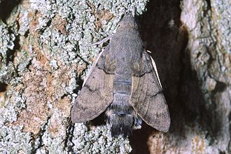 Hummingbird hawk-moth - Macroglossum stellatarum at rest