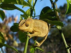 Bantu mythology - The chameleon is a herald of eternal life in many Bantu mythologies