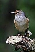 Madagascar magpie-robin (Copsychus albospecularis pica) female 2.jpg