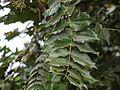 Mahonia leschenaultii (6369902311).jpg