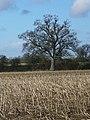 Maize stubble near Lovington - geograph.org.uk - 1700806.jpg