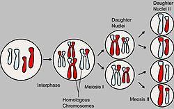 https://upload.wikimedia.org/wikipedia/commons/thumb/7/7b/MajorEventsInMeiosis.jpg/250px-MajorEventsInMeiosis.jpg