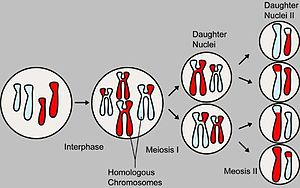 events involving meiosis, showing chromosomal ...