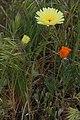 Malacothrix californica 8165.JPG