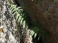 Male fern, Dryopteris filix-mas (26599590468).jpg