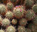 Mammillaria compressa ies.jpg