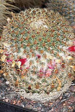 Mammillaria huitzilopochtli pm 1.JPG