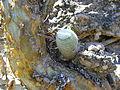 Mammillaria supertexta (5758985038).jpg