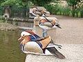 Mandarin Enten Männchen.jpg