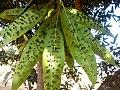 Mango leaf gall midge on leaves.jpg