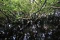 Mangroves, San Vicente Marine Sanctuary.jpg