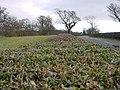 Manicured Hedge - geograph.org.uk - 111820.jpg
