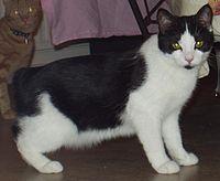 noir Vet chatte sale noir chatte