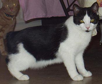 Tuxedo Manx Cat