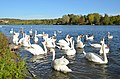 Many swans live at the Moselriver at Remich village Luxembourg - panoramio.jpg
