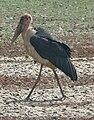 Marabou stork Sth Luangwa Stfg AZH0632.jpg
