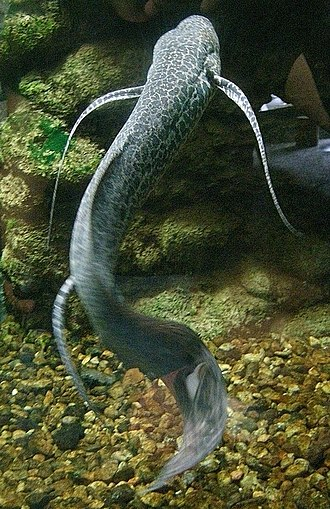 Lungfish - Image: Marbled lungfish 1