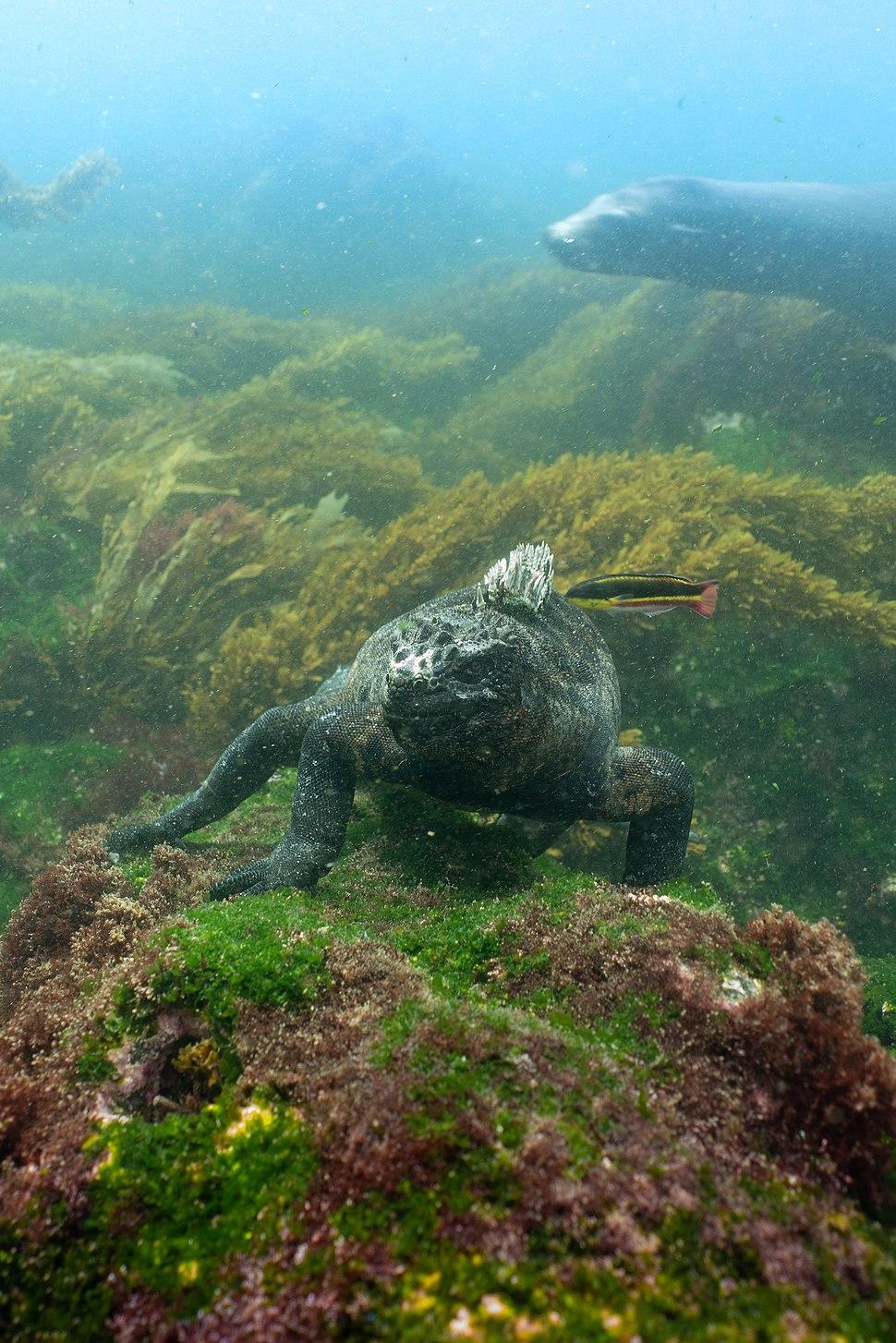 Marine Iguana (Amblyrhynchus cristatus) feeding underwater off Fernandina Island, Galápagos Islands
