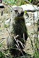 Marmottes en Vanoise (12).JPG