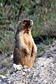 Marnota-marmota-1specimen-kolesnikov-05-2009-gerasimovka1.jpg