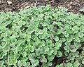 Marrubium vulgare.jpg