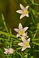 Marsh Bellflower (Campanula aparinoides) - Flickr - wackybadger.jpg
