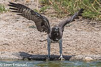 Martial Eagle, South Africa.jpg