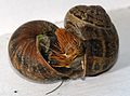 Mating-snails-2.JPG
